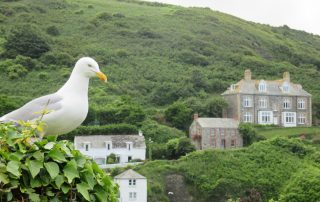 seagull cornwall