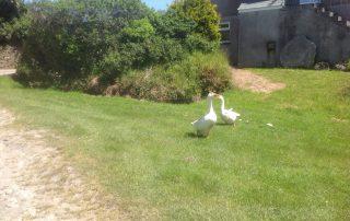 Tregavone Farm geese